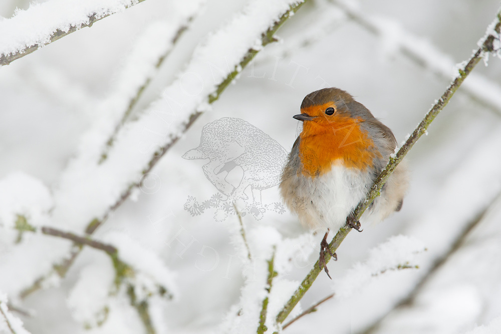 European Robin (Erithacus rubecula) adult, perched in snow covered tree, Norfolk, UK.