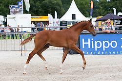 008 - Hype<br /> KWPN Paardendagen - Ermelo 2012<br /> © Dirk Caremans