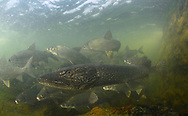Northern Pike (with Lake Whitefish)<br />