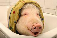 """Domestic pig Rudi after a bath in the bathtub. Rudi is owned by the Dutch physiotherapist Daan Vermeulen. He and his family live together with two pigs, who are alternately in the garden or house. From time to time they are washed in the bathtub because he uses these pigs as swine therapy in nursing homes, which was not the reason, so far, to live closely together with pigs. His answer to the question whether he was fond of animals, """"I am fond of people - I love animals differently - I appreciate them."""" Borken, Germany / Hausschwein Rudi nach einem Bad in der Badewanne. Rudi gehoert dem hollaendischen Physiotherapeuten Daan Vermeulen. Er und seine Familie leben mit zwei Schweinen zusammen, die sich abwechselnd in Garten oder Haus aufhalten. Von Zeit zu Zeit werden sie in der Badewanne gewaschen, da er diese Schweine auch als Therapieschweine in Altersheimen einsetzt, was aber nicht den Ausschlag gab, so eng mit Schweinen zusammen zu leben. Seine Antwort auf die Frage ob er tierlieb sei: """"Ich habe Menschen lieb - ich habe Tiere anders lieb - ich schaetze sie"""". Borken, Deutschland"""