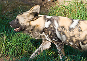 "The endangered African Wild Dog (Lycaon pictus, derived from the Greek for ""painted wolf"") is a carnivorous mammal of the Canidae family, found only in Africa, especially in scrub savanna and other lightly wooded areas. It is also called the African Hunting Dog, the Cape Hunting Dog, the Spotted Dog, or the Painted Wolf in English, Wildehond in Afrikaans, and Mbwa mwitu in Swahili. It is the only species in the genus Lycaon. The African Wild Dog has a pelage (coat, or hair) with an irregular pattern of black, yellow, and white, distinctive for each individual. It is the only canid species to lack dewclaws on the forelimbs. Photographed in the Woodland Park Zoo, Seattle, Washington, USA."