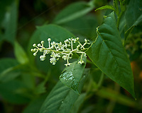 Pokeweed Flowers. Image taken with a Leica TL2 camera and 35 mm f/1.4 lens