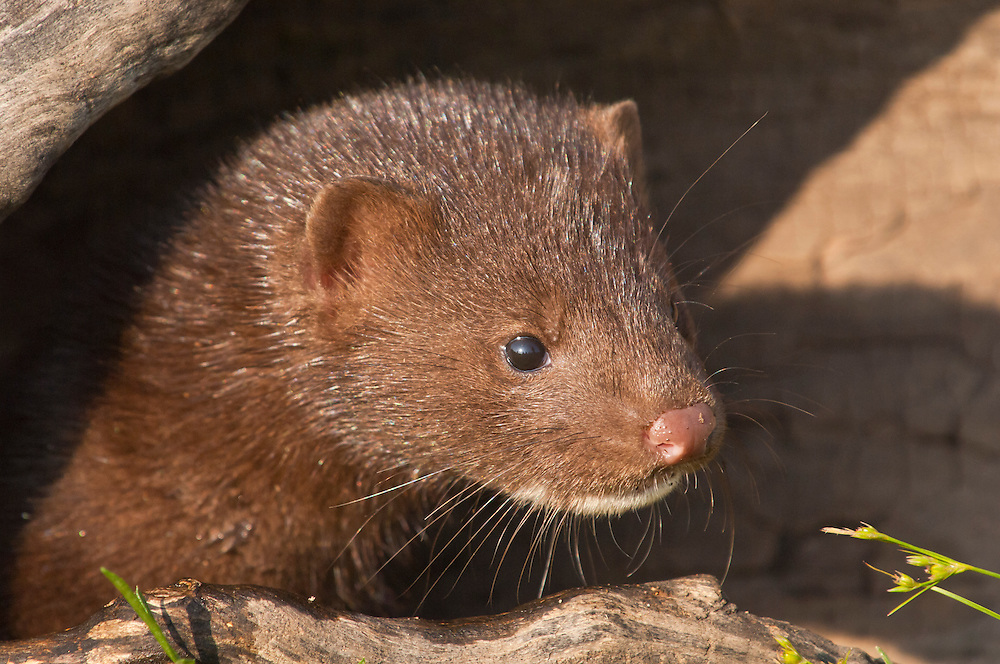 American mink, Mustela (Neovison) vison, native to North America