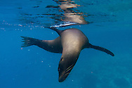 Snorkeling with Galapagos Sea Lions at Champion Islet near Floreana Island, Galapagos National Park, Galapagos, Ecuador