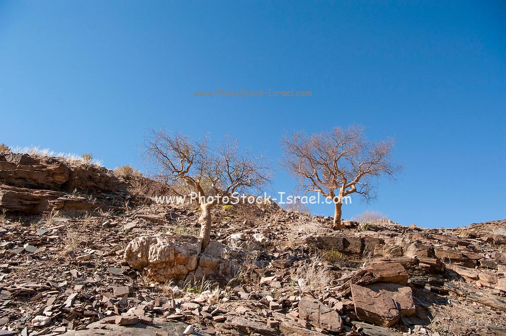 Lone dry tree in the  Namib desert plains Brandberg Mountain, Damaraland, Namibia