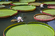 Victoria water lilies are of the plant family Nymphaeaceae.  They are known because of their , very large green leaves that lie flat on the water's surface up to 3 meters of 9 feet in diameter, its name Victoria Amazonica was given in honor of Queen Victoria though the plant is <br /> native to the Amazon River basin,  The leaf of these water lilies is able to support large weights thanks to the structure, though the leaf itself is quite delicate:though it can support up to 70 pounds if distributed throughout the leaf.