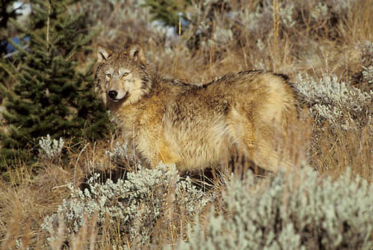 Gray Wolf, (Canis lupus) Adult in sagebrush in foothills of Rocky mountains. Montana.  Captive Animal.