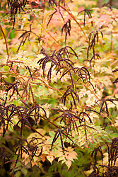 Seedheads and autumn colours of Aruncus 'Horatio'. Goat's beard