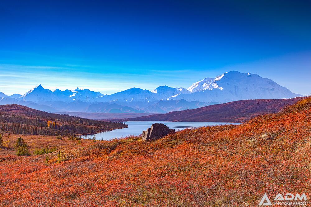 Blueberries overlooking Denali (Mt. McKinley) and Wonder Lake, Denali National Park, summer, morning