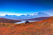Blueberries overlooking Denali (Mt. McKinley) and Wonder Lake, Denali National Park, summer, morning