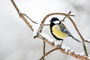 Great Tit, Parus major, winter, Kaamanen, Finland