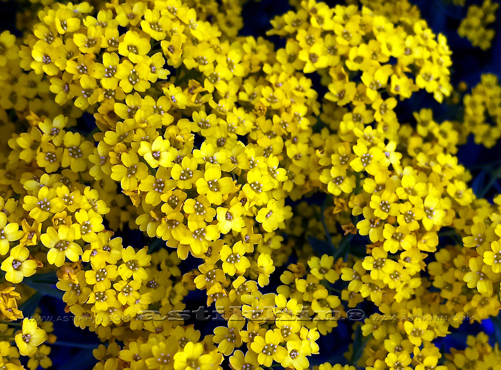Yellow flowers.
