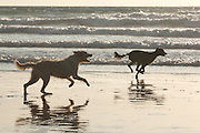 Dogs chase a thrown stick on Perranporth beach, Cornwall.