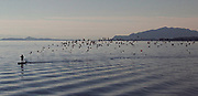 A flight of birds gather behind a paddle boarder  Roberts Creek, BC   (2017)