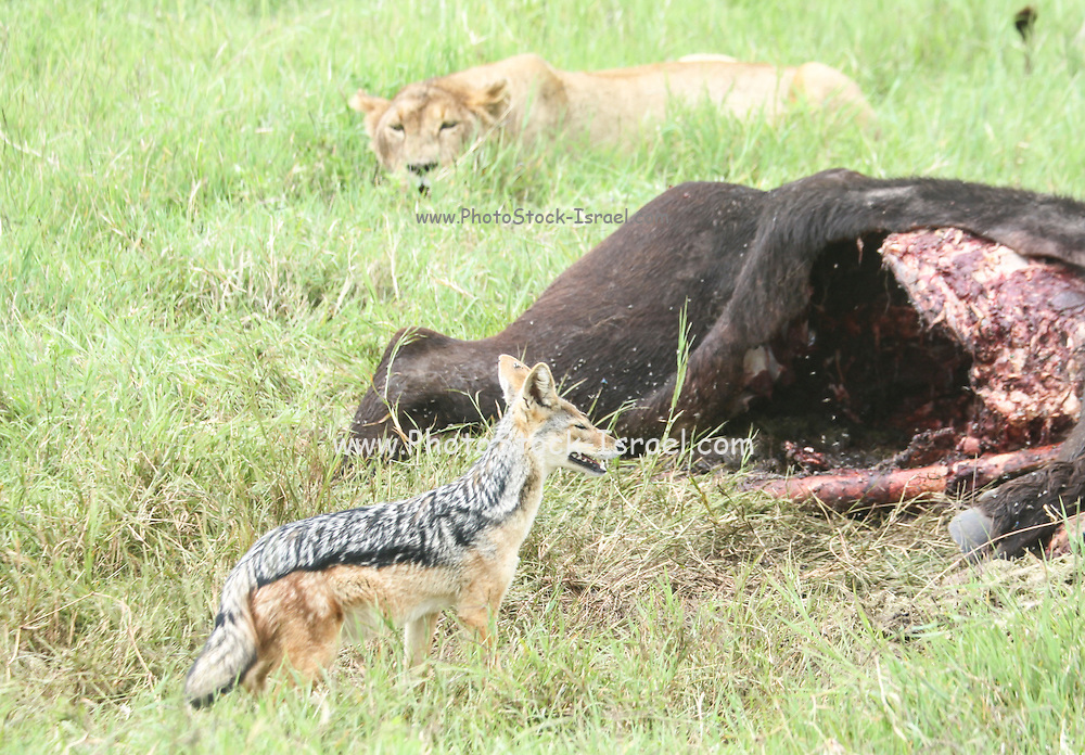 black-backed jackal (Canis mesomelas), and lioness near a carcass