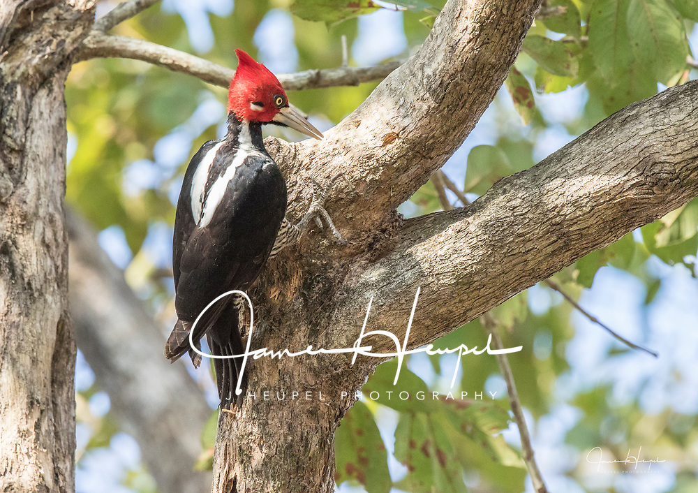 Crimson-crested Woodpecker Searches for Insects