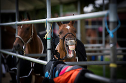 A horse during the Royal Salute Coronation Cup polo at Windsor Great Park in Surrey.