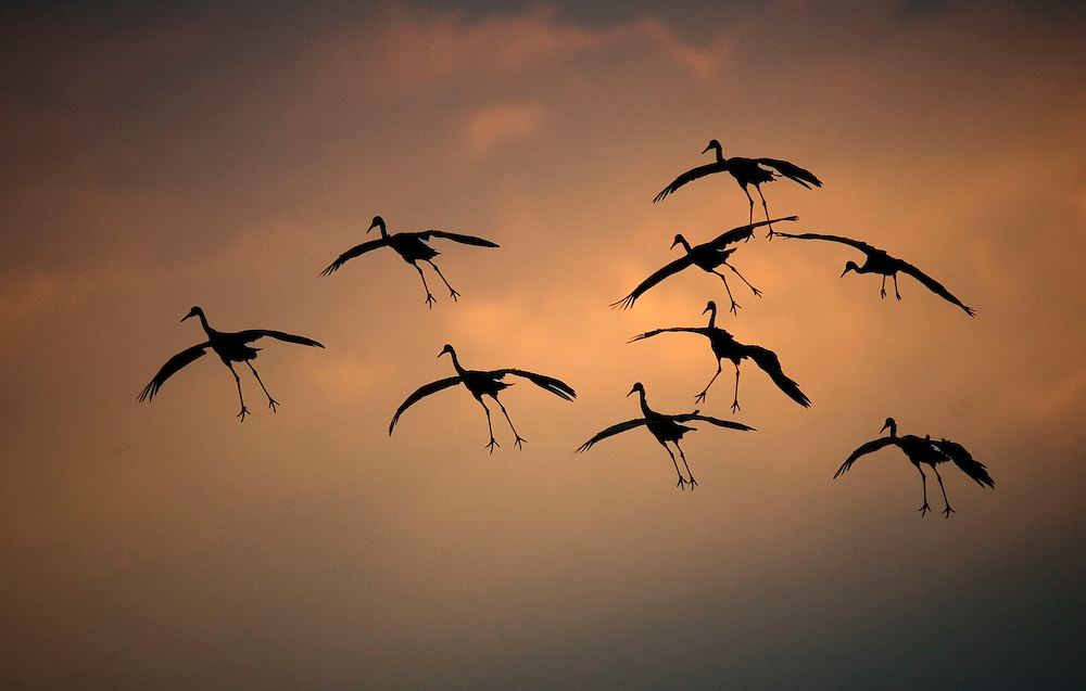 Sandhill Cranes fly into the Wisconsin River with numbers increasing as they prepare to migrate south,
