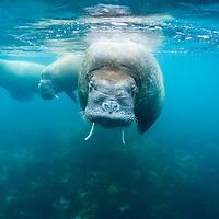 Norway, Svalbard, Underwater view of Walrus (Odobenus rosmarus) swimming in shallows near Lagøya Island