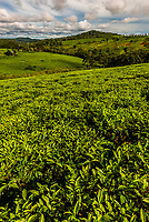 Tea plantations, Rweetera, Kabarole District, Uganda.