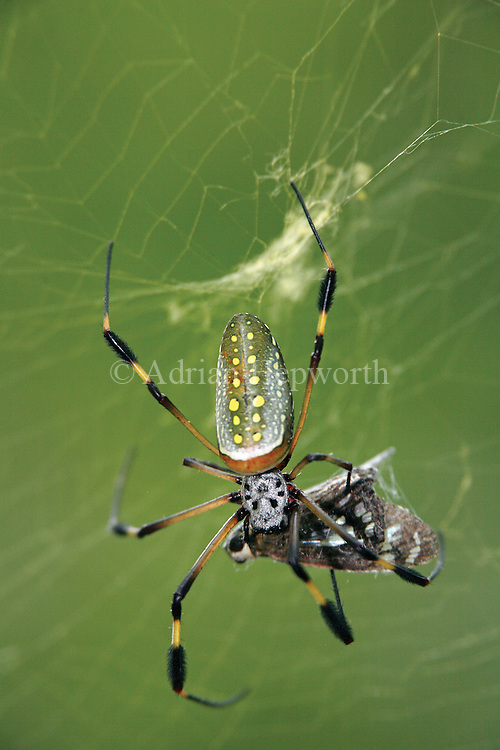 Golden Orb Spider (Nephila clavipes) feeding on butterfly caught in web. Corcovado National Park, Osa Peninsula, Costa Rica. <br />
