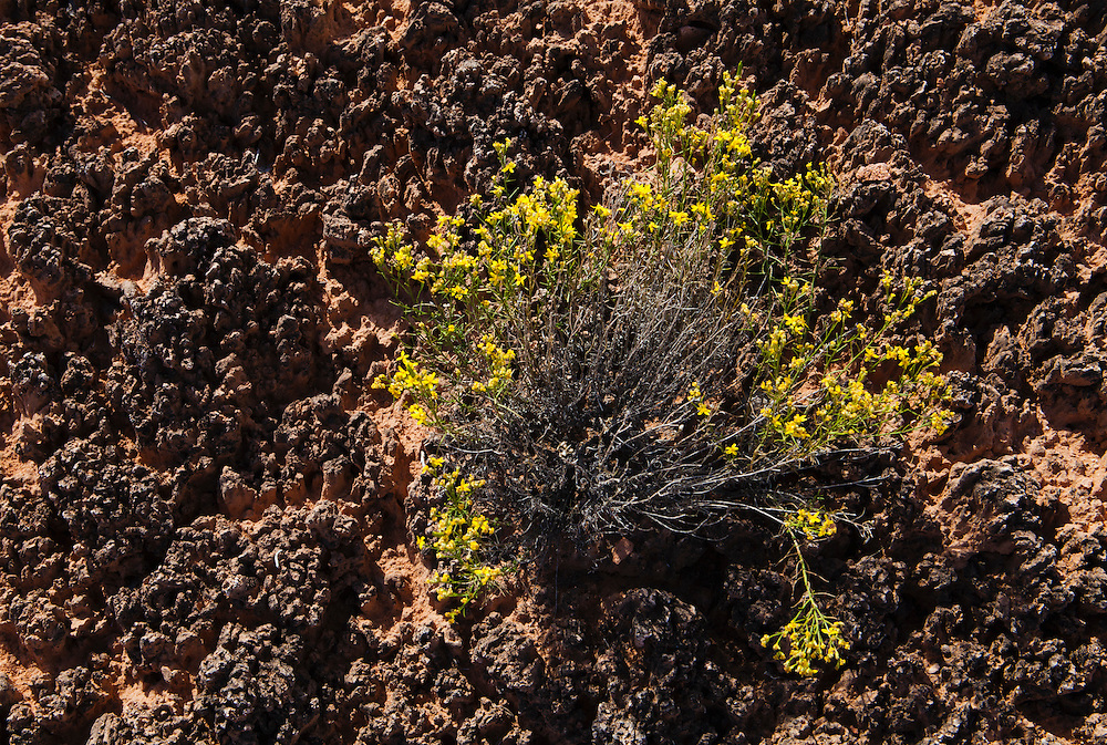 Closeup of cryptobiotic soil and Rabbitbrush in Canyonlands National Park, Needles District, Utah, USA.