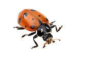 Convergent Lady Beetle (Hippodamia convergens)<br /> CALIFORNIA: Kern Co.<br /> Stine Cove on Lake Isabella; near Porterville<br /> 10.June.2012<br /> J.C. Abbott #2600 &amp; K.K. Abbott