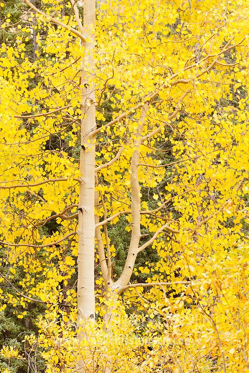 Fall aspen leaves are backlit in a dark aspen forest