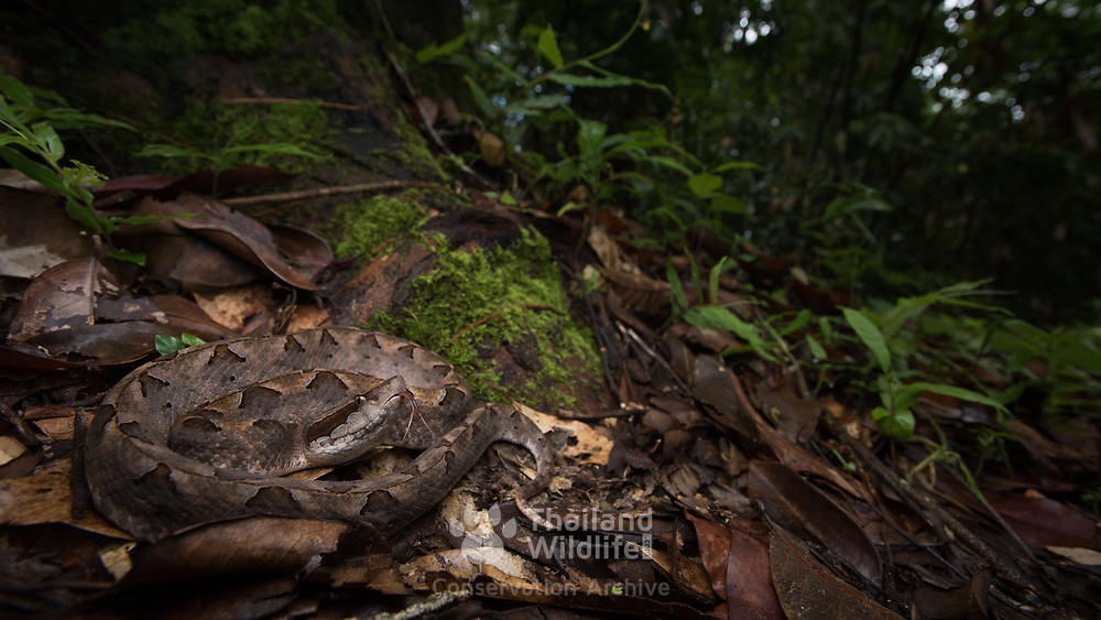 Malayan Pit Viper (Calloselasma rhodostoma) in Yan Ta Khao district, Trang, Thailand