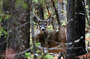 White-tailed buck in a conifer forest in fall. Yaak Valley in the Purcell Mountains, northwest Montana.