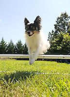 A Papillion show dog practices agility.sabina louise pierce