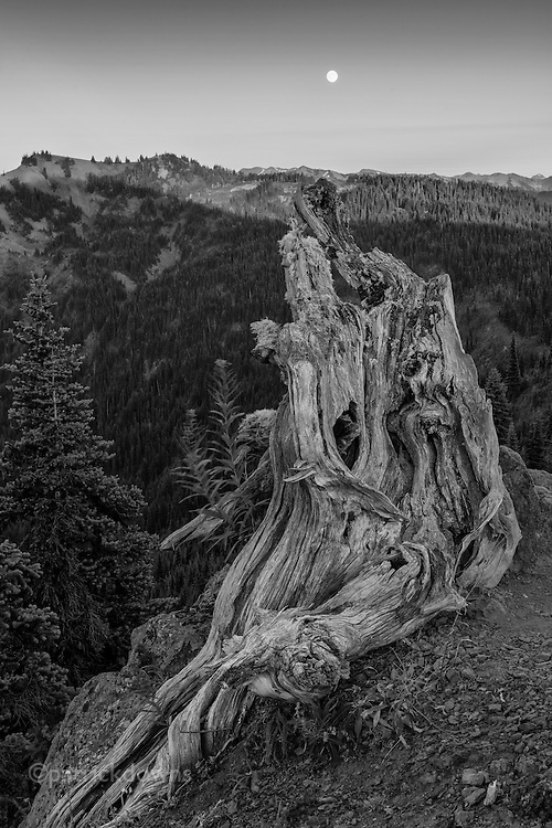"Like a sentinel,  a gnarled tree sits near Hurricane Hill, Olympic National Park. An almost-full moon (the day before a ""supermoon"") rises to the S/SE as the last light of the sun skims the peaks."