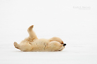 Polar bear playing on the ice in the Canadian Arctic near Churchill, Manitoba