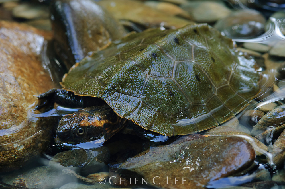 Malayan Flat-shelled Turtle (Notochelys platynota). Sarawak, Malaysia.
