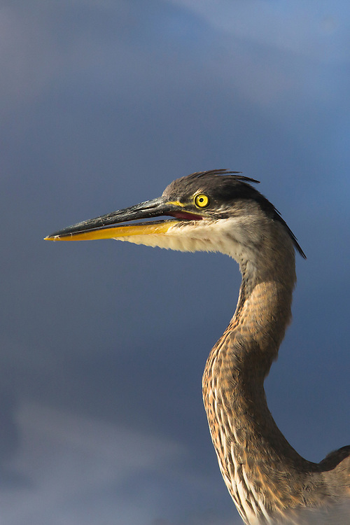 A tight shot of the head of a great blue heron.