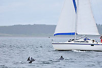 Bottle-nosed Dolphins by yacht,<br /> Tursiops truncatus,<br /> Moray Firth, Nr Inverness, Scotland - July
