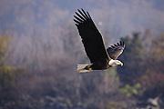 A bald eagle flies over Conowingo Dam on Sunday, November 14, 2010 in Conowingo, MD.
