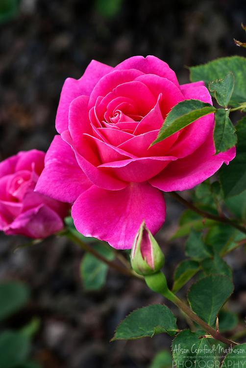 Rose Rendez-vous