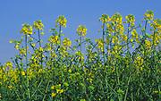 ADD2TC Oil seed rape yellow flowers against blue sky