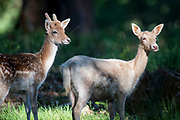 UNITED KINGDOM, London: 12 May 2020 <br /> Young fallow deer enjoy the early morning sunshine in Richmond Park early this morning. The weather in the capital, although starting sunny and cold today, is set to be cloudy for the rest of the week.
