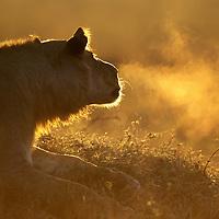 Africa, Kenya, Masai Mara Game Reserve, Breath of Young male Lion (Panthera leo) is lit by rising sun near Mara River