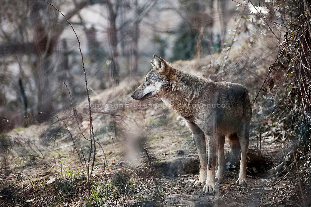 16 Febraury 2017, Civitella Alfedana - A wolf inside the wildlife area of the Apennine Wolf. A fenced area of about four hectares, where for staging points you can observe wolves in a state of semi-freedom.