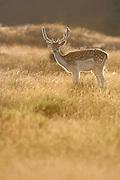 Back lit Fallow Deer (Dama dama) standing in grassland