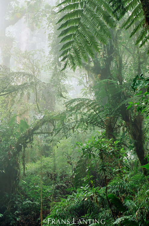 Cloud forest in mist, Monteverde, Costa Rica