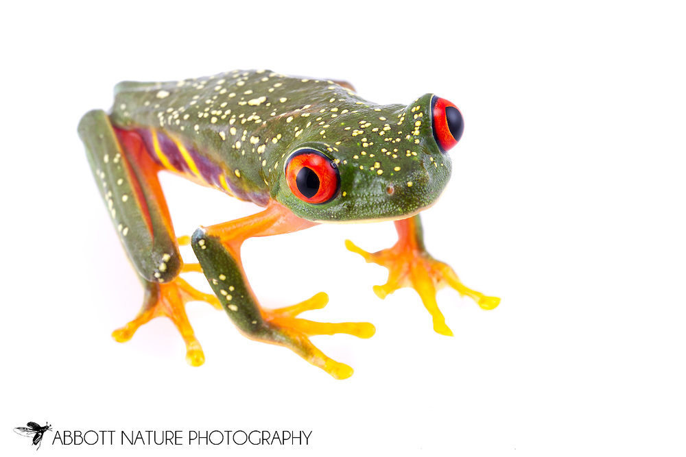Red-eyed Tree Frog (Agalychnis callidryas)<br /> BELIZE: Cayo District <br /> Ian Anderson's Caves Branch Lodge near Armenia<br /> 7-Sep-2014<br /> J.C. Abbott &amp; K.K. Abbott