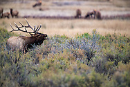 Bull elk, rut, bugling, Cervus Canadensis, Charles M Russell National Wildlife Refuge, Montana