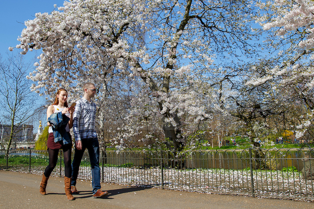 © Licensed to London News Pictures. 07/04/2015. LONDON, UK. People walk past white blossom trees in St James's Park in London on Tuesday, 7 April 2015 as temperature hits 17C. Photo credit : Tolga Akmen/LNP