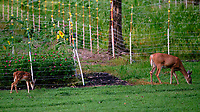 Fawn with Spots and Doe. Image taken with a Fuji X-T3 camera and 200 mm f/2 OIS lens