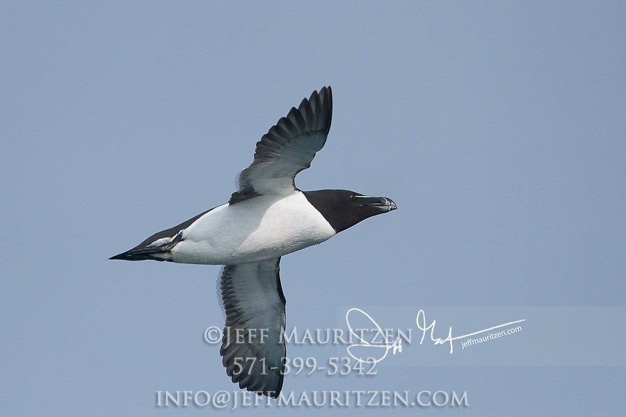 A Razorbill (Alca torda islandica) in flight over the waters that surround Skomer Island, a National Nature Reserve of Wales, U.K..