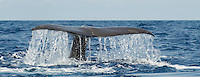 Sperm whale, Physeter macrocephalus, Pico, Azores, Portugal.